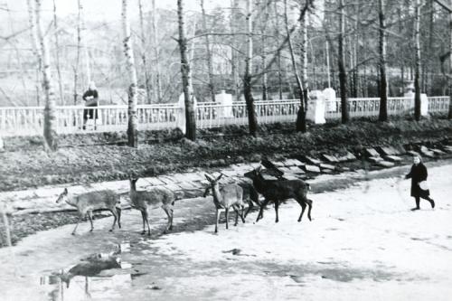 Небольшая группа диких лосей на Старой плотине в Красногорске, Московская область (год фото неизвестен).